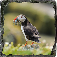Puffin. Medium Square Slate ZB_57_MSL