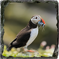Puffin. Medium Square Slate ZB_58_MSL