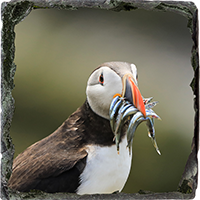 Puffin. Medium Square Slate ZB_59_MSL