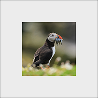 Puffin. Mounted Print  ZB_56_MM