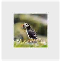 Puffin. Mounted Print  ZB_57_MM