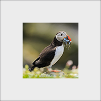 Puffin. Mounted Print  ZB_58_MM