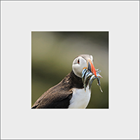 Puffin. Mounted Print  ZB_59_MM