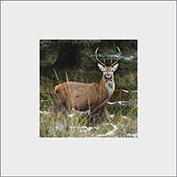 Red Deer Stag Mounted Print  ZB_27_MM