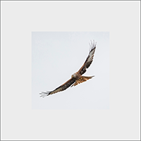 Red Kite Mounted Print  FB_12_MM