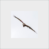 Red Kite Mounted Print  FB_14_MM