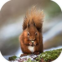 Red Squirrel Coaster FB_04_SC