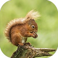 Red Squirrel Coaster FB_08_SC