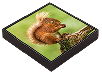 Red Squirrel Framed Tile  FB_08_FT