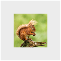 Red Squirrel Mounted Print  FB_08_MM