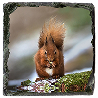 Red Squirrel Slate Coaster  FB_04_SSC