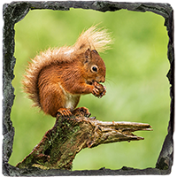 Red Squirrel Slate Coaster FB_08_SSC