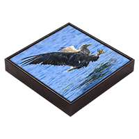 White Tailed Sea Eagle Framed Tile ZB_01_FT