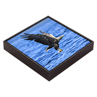 White Tailed Sea Eagle Framed Tile ZB_12_FT